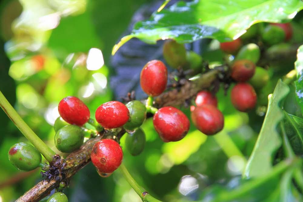 台湾産コーヒー